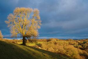 The big ash tree